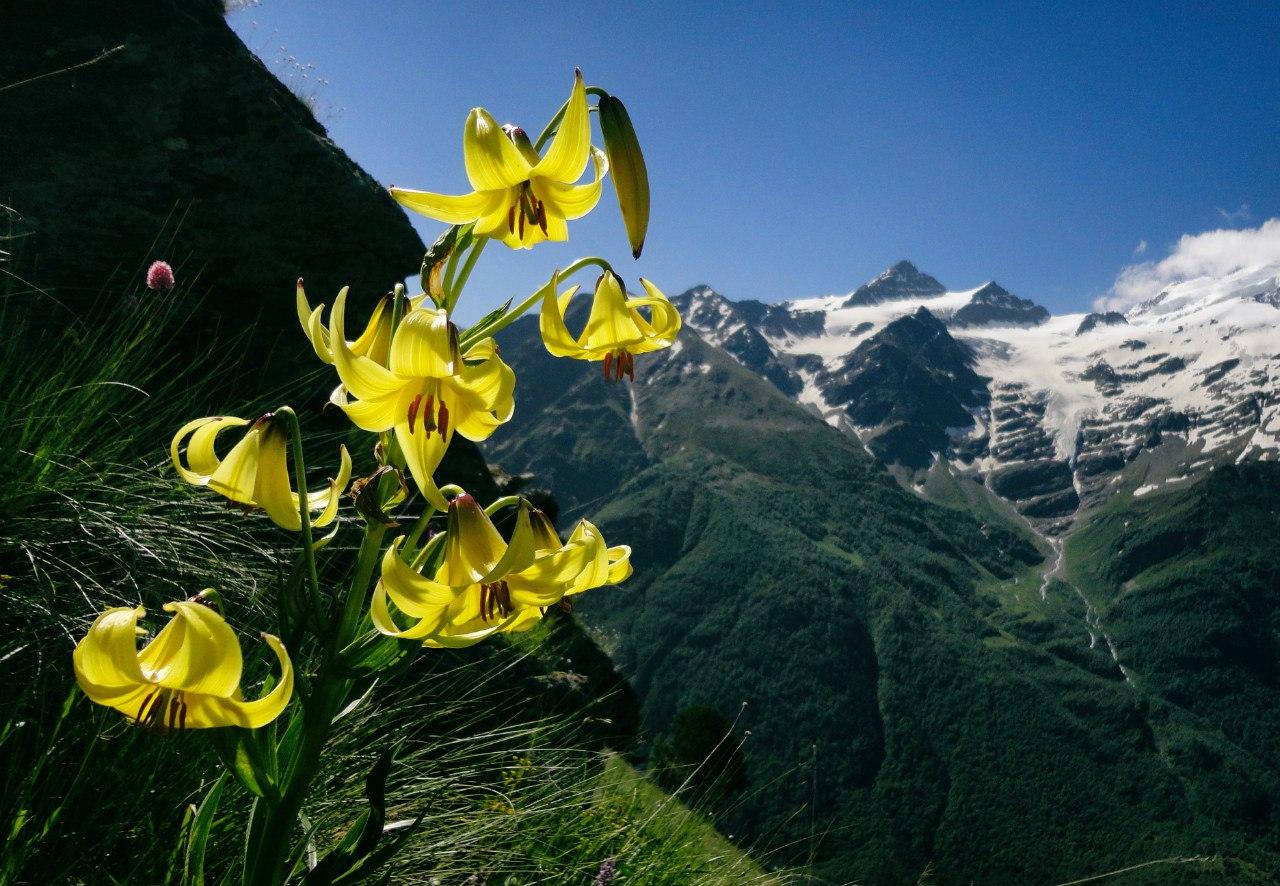 Цветы на Эльбрусе